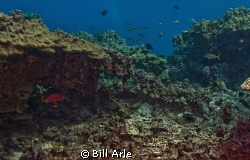 Reef scene.  Notice goatfish with cleaner wrasse. Big Isl... by Bill Arle