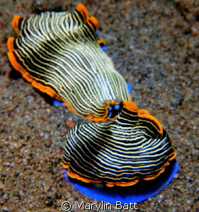 Mating Nudis by Marylin Batt