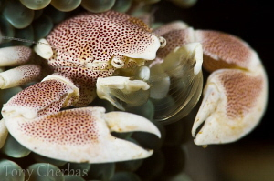 Transparant Fan Veil:  Porcelain Crab with Setae ready to... by Tony Cherbas
