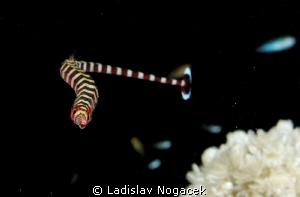 pipe zebra fish :) by Ladislav Nogacek