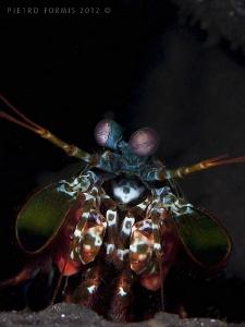 Tulamben - Mantis shrimp by Pietro Formis