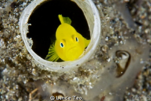 Goby tube eye view by Lance Teo