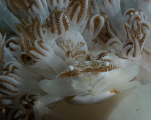 Coral Crab by John Roach