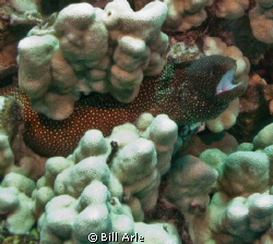 White mouth moray eel. Big Island, Hawaii. by Bill Arle