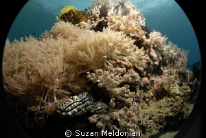 CLose focus wide angle 2 nudibranchs on the reef at Beatriz. by Suzan Meldonian