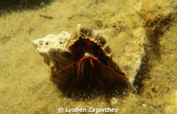 Shy hermit crab. by Lyuben Zagorchev