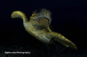 Loggerhead Turtle along Juno Beach, FL Reef . . . by Richard Apple