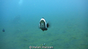 muck diving In Lembeh , nemo ready for attack by Helen Hansen