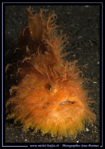 Hairy Frog Fish... ;O)... by Michel Lonfat