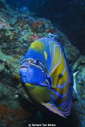 Blue-ringed Angelfish. Gulf of Thailand, Nikon D60, 55mm ... by Richard Ten Brinke