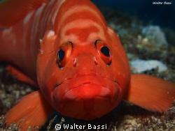 Olympus epl-1,flash sea&Sea ys110 alpha,subsee+5 by Walter Bassi