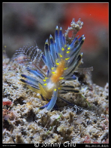 Never seen this nudi 、 Northeast Coast Taiwan by Johnny Chiu