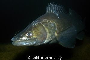 Big Pike-perch (Sander lucioperca) by Viktor Vrbovský