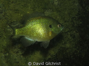 Test shots with Canon S100 in a local quarry. Bluegill Su... by David Gilchrist