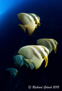 Spadefish during deep dive-Elmo's Reef-Weda Bay, Halmahera by Richard Goluch