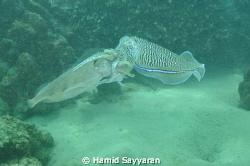 squid  by Hamid Sayyaran