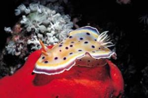 Nudibranch, Red Sea, Camerasystem; Mamiya 645 in Hugyfoth... by Walter Lehmann