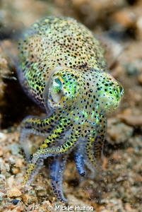 Bobtail squid Aniloa, the Philippines by Mickle Huang