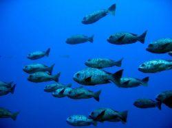 School of fish - Elphinstone - Egypt by Wijnand Plekker
