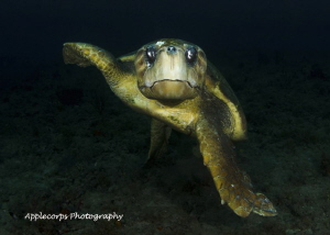 "Loggerhead Turtle at ""Tunnels"" Dive Site, Jupiter, FL, Ju... by Richard Apple"