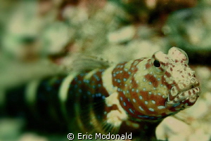 UAE Goby by Eric Mcdonald