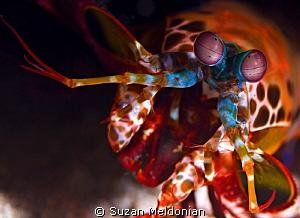 Peacock Mantis by Suzan Meldonian