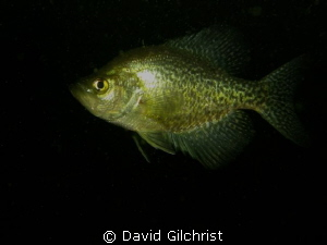 Black Crappie, Windmill Point Quarry Canon S 100, shot F/... by David Gilchrist
