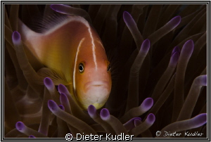 Clown Fish at Yap Caverns by Dieter Kudler