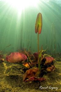 Purple water lily in the sun by Raoul Caprez