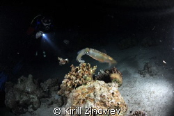 Сuttlefish caught at night dive at Small Giftun by Kirill Zinoviev