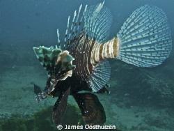 Lionfish. Nikon 7000 fantasea housing. by James Oosthuizen