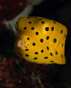Yellow Boxfish Juv. @ 84 feet SW  Horseshoe Bay Rinca/Komodo by John Roach