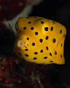 Yellow Boxfish Juv. @ 84 feet SW  Horseshoe Bay Rinca/Komodo by John Roach