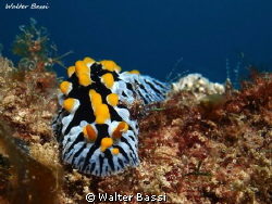 phyllidia varricosa by Walter Bassi