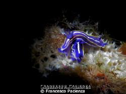 Love to love...  Hypselodoris tricolor, 1 cm. Light wit... by Francesco Pacienza