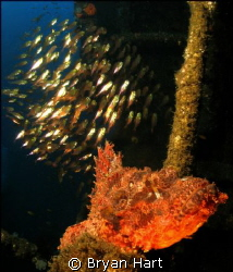 There were two Raggie Scorpina Fish having breakfast on a... by Bryan Hart