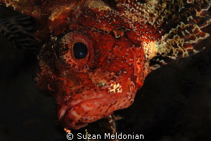 Really curious  Scorpion fish. by Suzan Meldonian