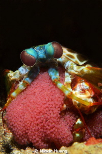 Mantis shrimp with eggs Aniloa, the Philippines by Mickle Huang