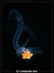 "02.06.2012 - juvenil ""Porania pulvillus"" by Constantin Ene"