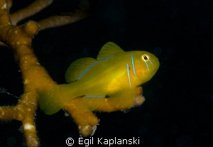 Lemon goby by Egil Kaplanski