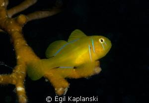 Lemon goby by Egil Kaplanski