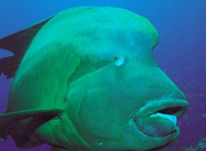 Napoleonfish, Red Sea, Camerasystem; Mamiya 645 in Hugyfo... by Walter Lehmann