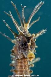 Hippocampus guttulatus by Rumeau Yann Christian