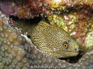 golden moray and friend by Christopher Lynch