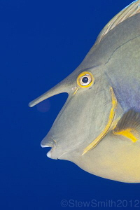 Unicornfish portrait by Stew Smith