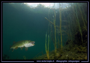 Adult Pike Fish... by Michel Lonfat