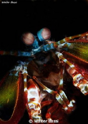 Mantis shrimp by Walter Bassi