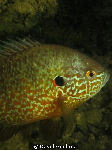 A portrait of a Pumpkinseed Sunfish taken a local quarry.... by David Gilchrist