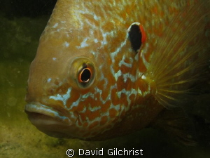 Another portrait of Pumpkinseed Sunfish. Canon S 100 by David Gilchrist
