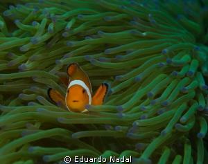 clownfish d7000, 100mm, f10 by Eduardo Nadal